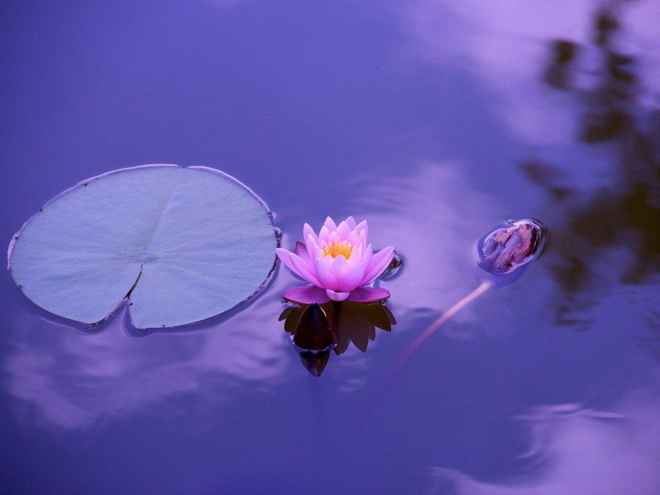 Lotus în trei faze